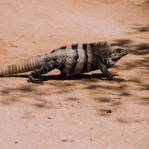 Trouver les lzards au Mexique a certainement t une dehellip
