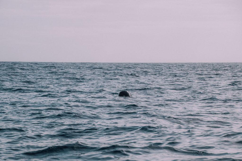 Açores voir cachalot