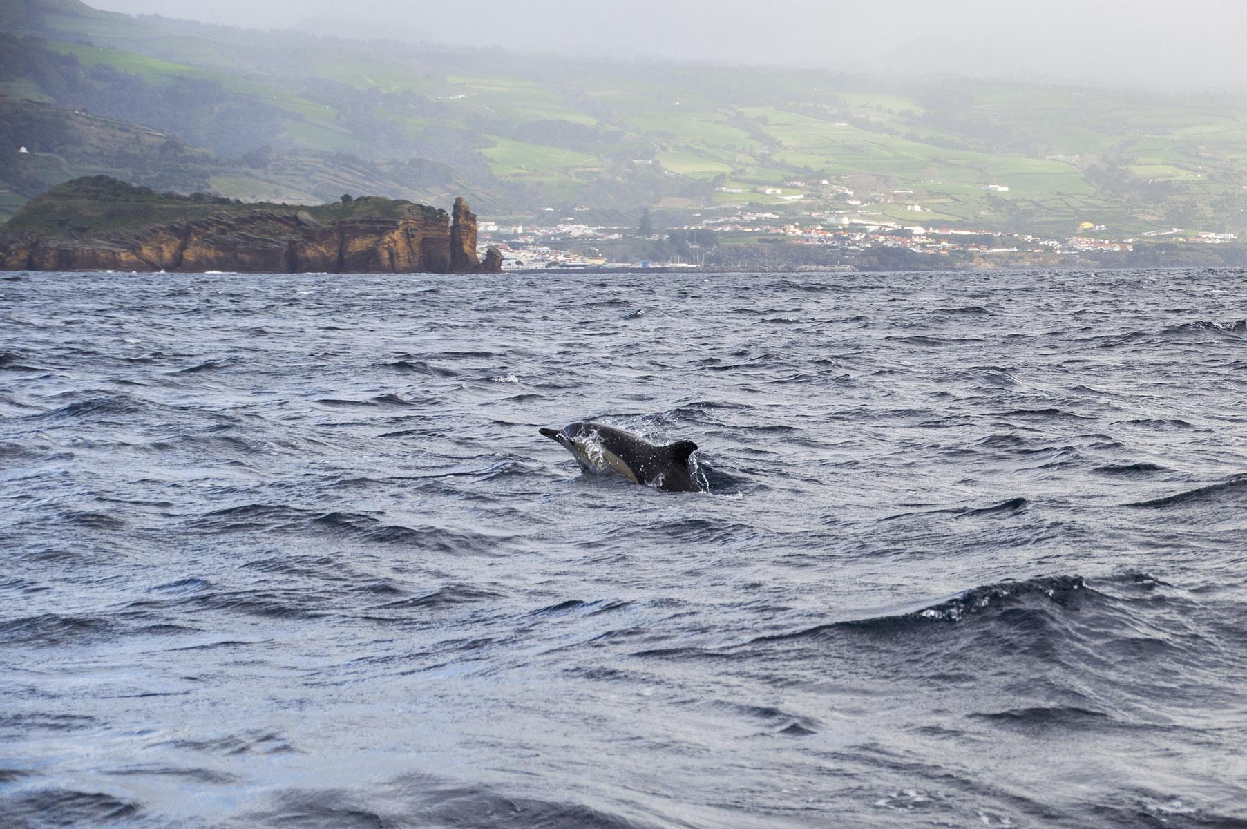 açores voir dauphin