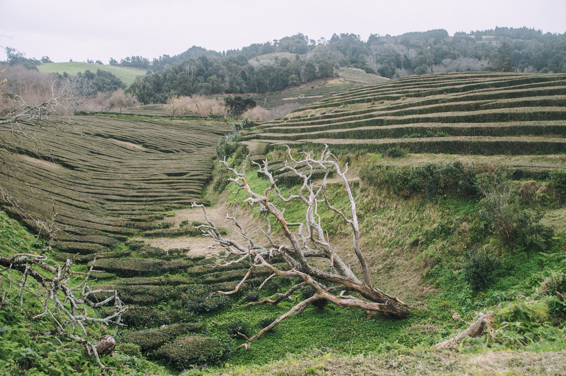 plantation thé açores