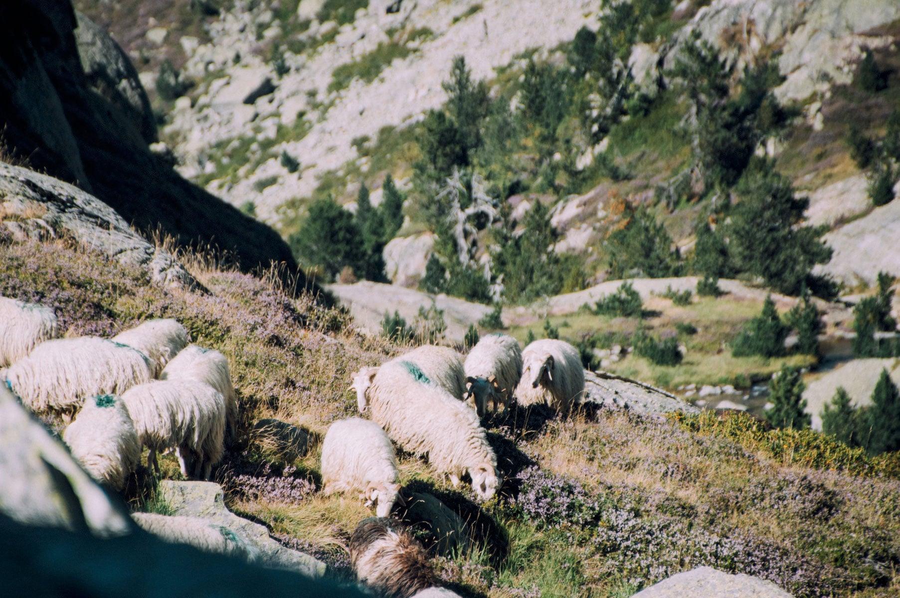 Brebis Pyrénées Atlantiques