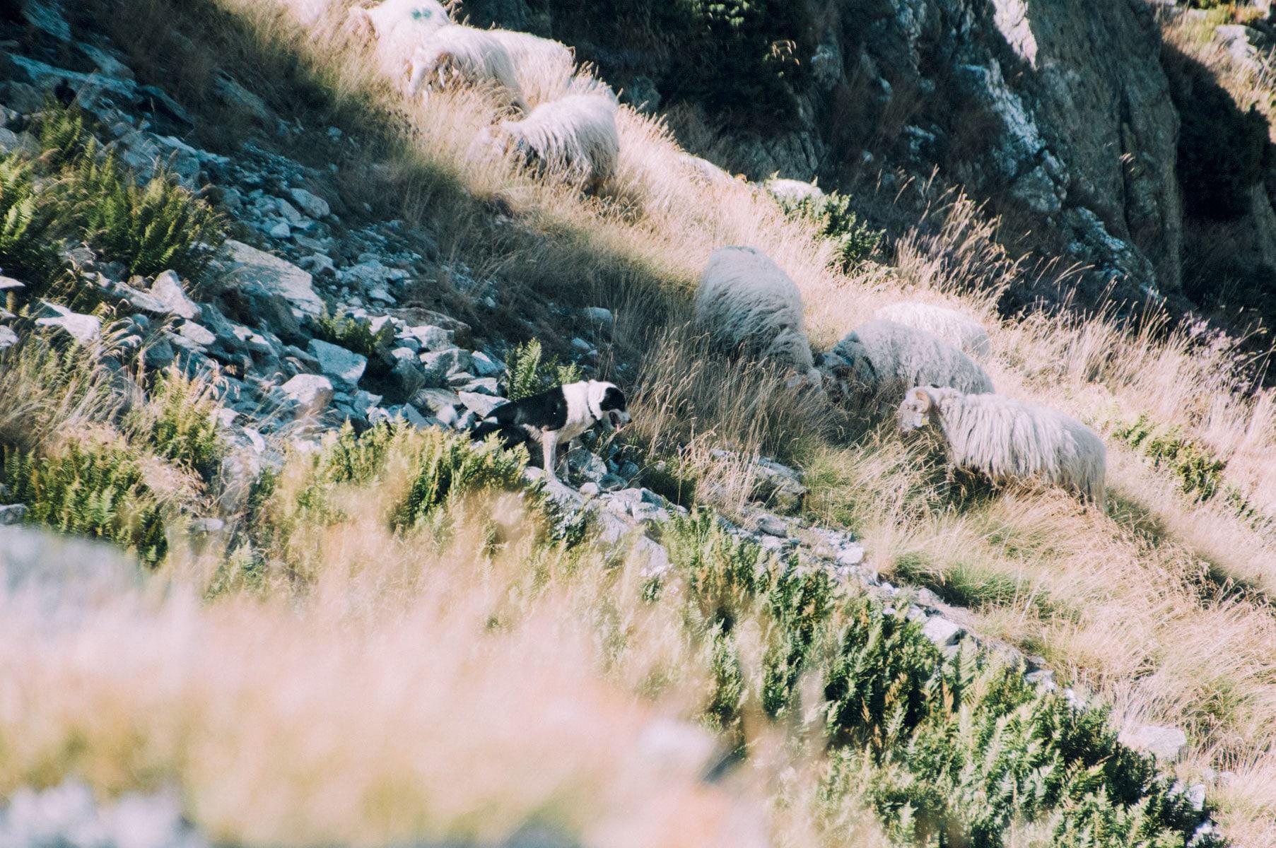 Pyrénées Mouton