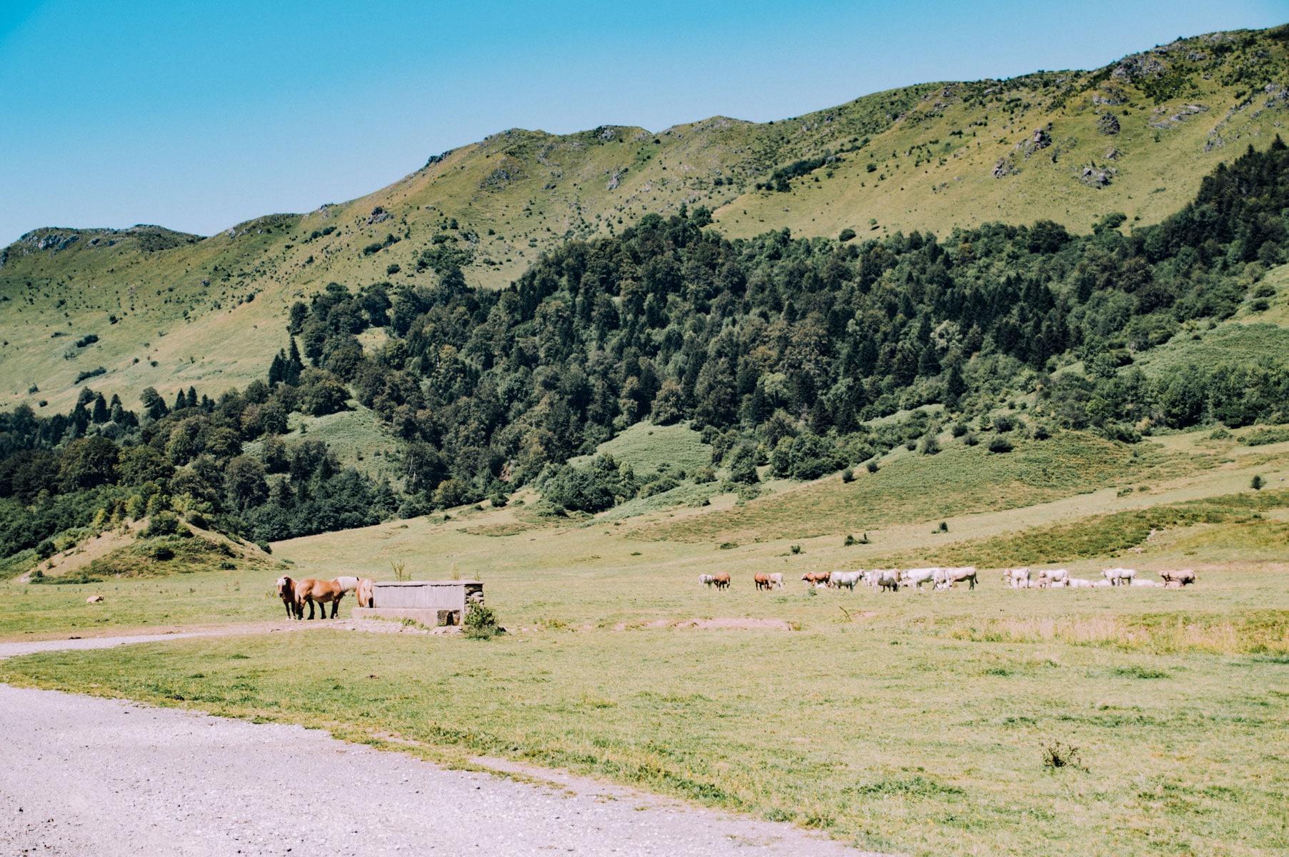Vaches cloches Pyrénées